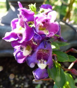 Angelonia-close up
