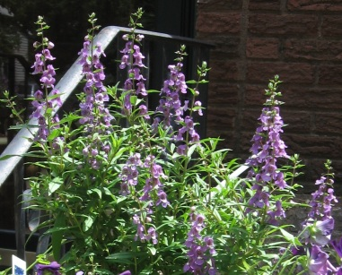Angelonia-cropped