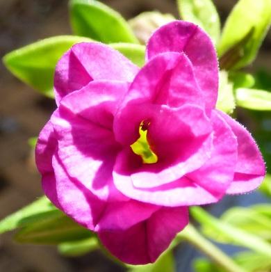 close up of double calibrachoa
