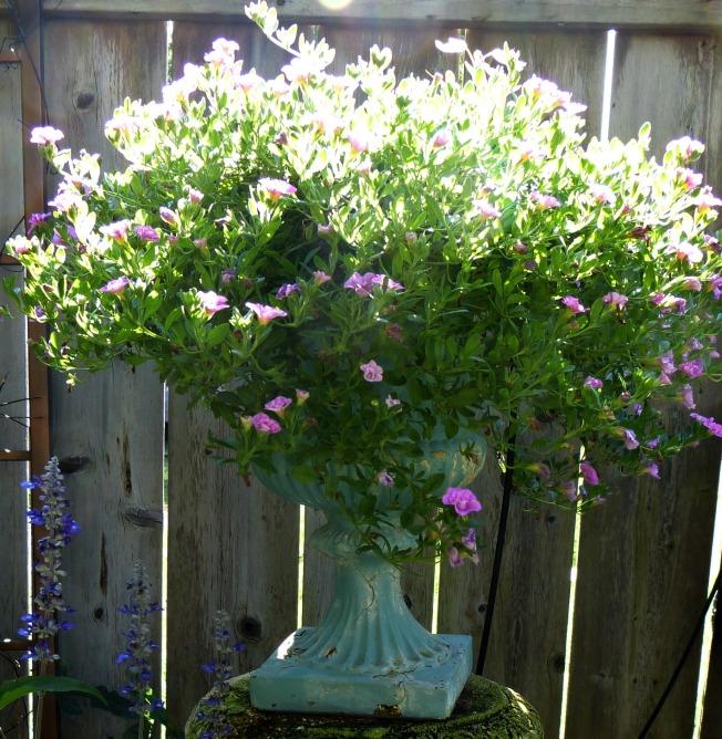 Double Calibrachoa in late summer