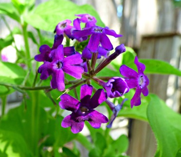 Imagination verbena-close up