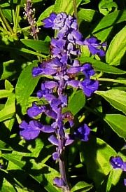Single Salvia close up