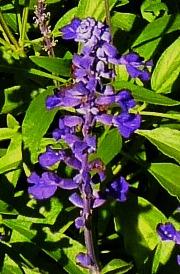 Single Salvia close up